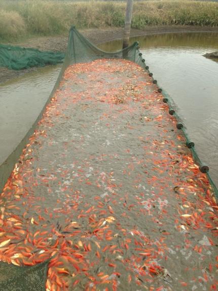 Goldfish Farm | About Fish Farm Wife